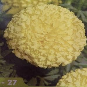Flower Seeds - 27 MARIGOLD