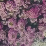 ALYSSUM ORNAMENTAL FLOWER - BigHaat.com