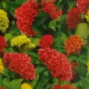 Flower Seeds - CELOSIA CRISTATA