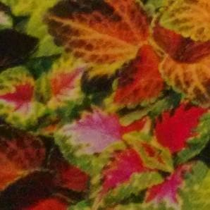 Flower Seeds - COLEUS