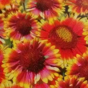 Flower Seeds - GAILLARDIA
