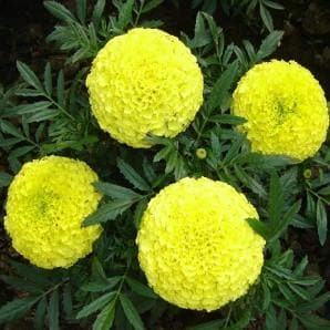 Flower Seeds - MAJESTIC YELLOW MARIGOLD