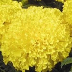 Maxima Yellow Marigold Seeds