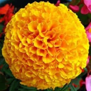 YELLOW DOLLAR MARIGOLD
