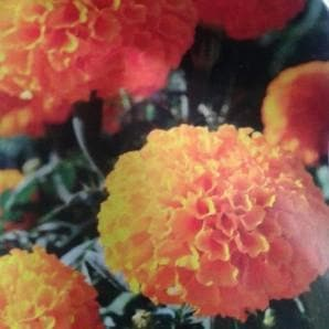 Flower Seeds - MISSILE ORANGE MARIGOLD
