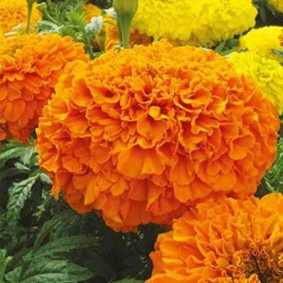 Flower Seeds - SIERRA ORANGE/YELLOW MARIGOLD