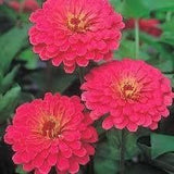 Flower Seeds - ZINNIA