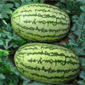 GULFAM WATERMELON - BigHaat.com