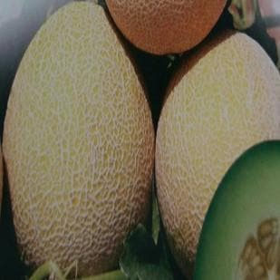 Fruit Seeds - NS 911 (GH 11) MUSKMELON