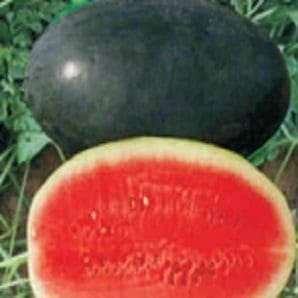 Fruit Seeds - SUGAR QUEEN WATER MELON