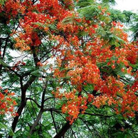 GULMOHAR(MAY FLOWER) SEED