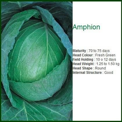 Vegetable Seeds - AMPHION CABBAGE