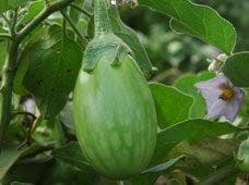 Vegetable Seeds - BRINJAL