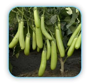 Vegetable Seeds - BRINJAL No. 183