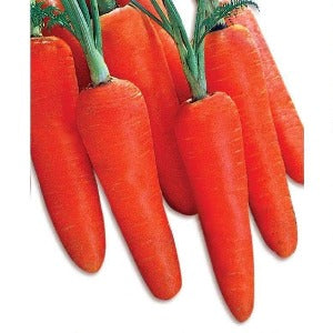 COUNTRY RED CARROT - BigHaat.com