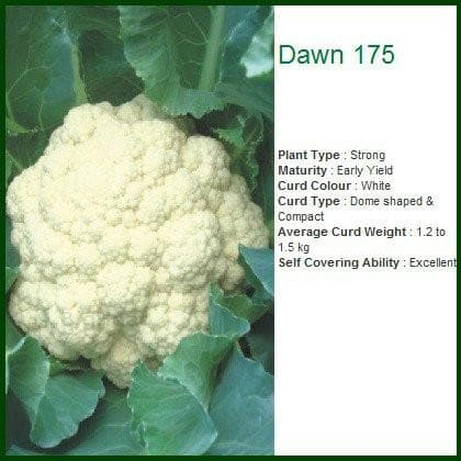 Vegetable Seeds - DAWN 175 CAULIFLOWER