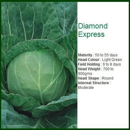 Vegetable Seeds - DIAMOND EXPRESS CABBAGE