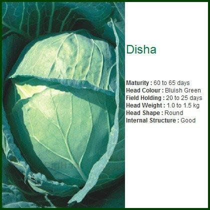 Vegetable Seeds - DISHA CABBAGE