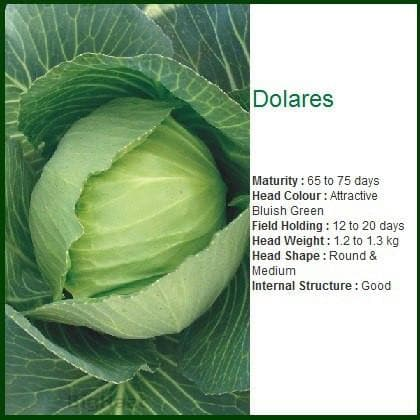Vegetable Seeds - DOLARES CABBAGE