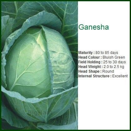 Vegetable Seeds - GANNESHA CABBAGE
