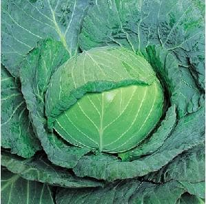 Vegetable Seeds - GLOBE MASTER CABBAGE F1