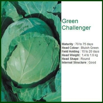 Vegetable Seeds - GREEN CHALLENGER CABBAGE