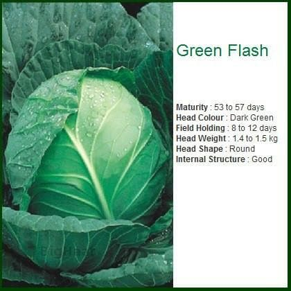Vegetable Seeds - GREEN FLASH CABBAGE