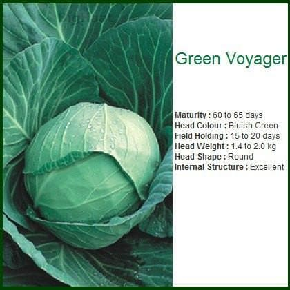 Vegetable Seeds - GREEN VOYAGER CABBAGE