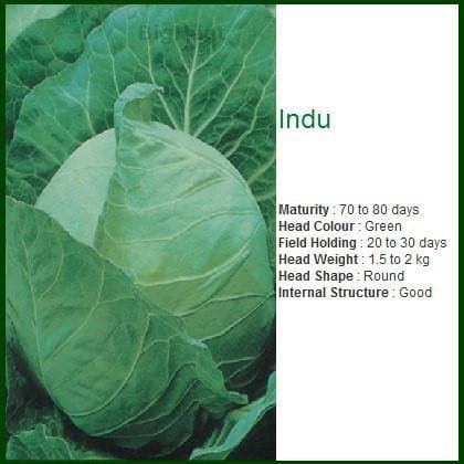 Vegetable Seeds - INDU CABBAGE