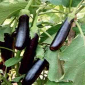 Vegetable Seeds - JACQULIN BRINJAL