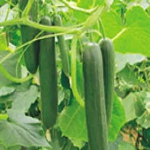 Vegetable Seeds - KAFKA CUCUMBER