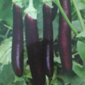Vegetable Seeds - KANIKA BRINJAL