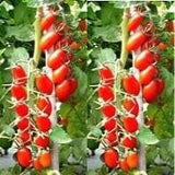 Vegetable Seeds - LAILA CHERRY TOMATO