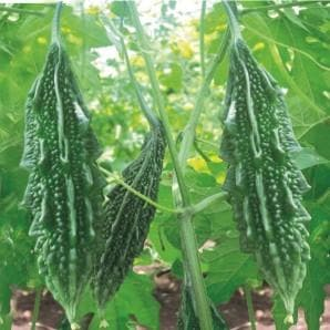 Vegetable Seeds - LEADER BITTERGOURD