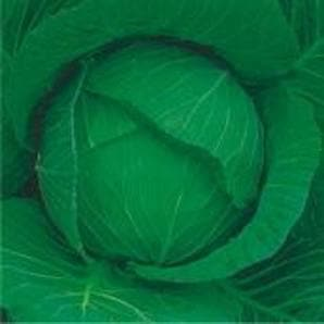 Vegetable Seeds - MAHARANI CABBAGE