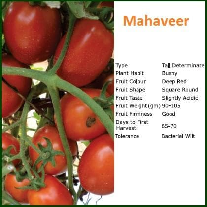 Vegetable Seeds - MAHAVEER TOMATO