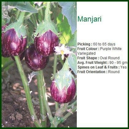 Vegetable Seeds - MANJARI BRINJAL