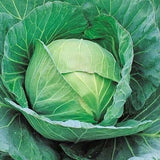 Vegetable Seeds - MIGHTY CABBAGE F1