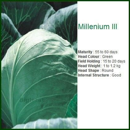 Vegetable Seeds - MILLENIUM III CABBAGE