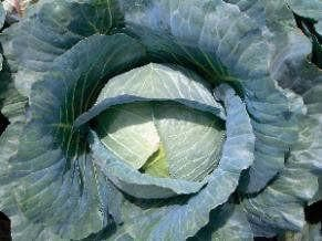 Vegetable Seeds - NS 183 CABBAGE