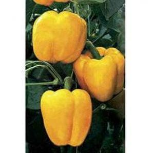 Vegetable Seeds - NS 281 CAPSICUM (Yellow)