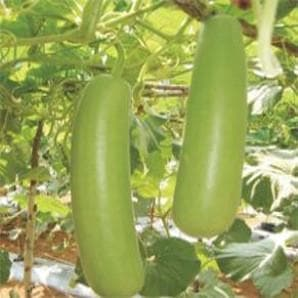 Vegetable Seeds - NS 443 BOTTLE GOURD
