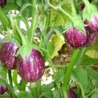 NS 538 (158) BRINJAL - BigHaat.com