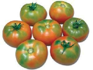 Vegetable Seeds - NS 585 TOMATO