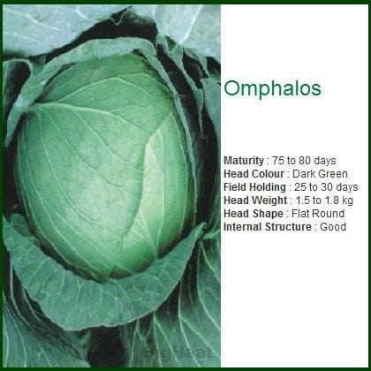 Vegetable Seeds - OMPHALOS CABBAGE