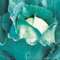 QUISTO CABBAGE - BigHaat.com