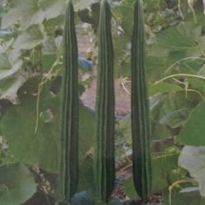 Vegetable Seeds - RESHMA RIDGE GOURD