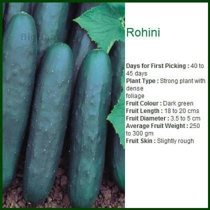 Vegetable Seeds - ROHINI CUCUMBER (CORTEZ UNBL) - रोहिणी