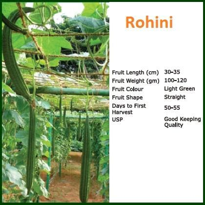 Vegetable Seeds - ROHINI RIDGE GOURD