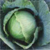 Vegetable Seeds - SHAURYA CABBAGE